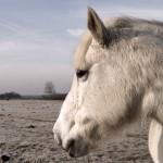 Winterwit paard