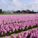 hyacintenvelden fotografie egmond-binnen